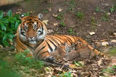 Tiger and Cubs | by griffithsgeorge