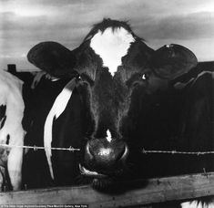 Cow Chewing Barbed Wire (1978) - Peter Hujar
