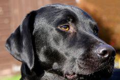 Springer Spaniel, Deerhound x Old English Sheepdog, Pointer x Labrador Welsh Sheepdog, Old English Sheepdog, Shetland Sheepdog, Springer Spaniel, Labrador Retriever, Dogs, Animals, Labrador Retrievers, Animales