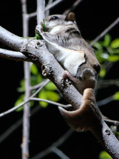 Southern flying squirrel Skunks, Raccoons, Rodents, Primates, Mammals, Squirrel Humor, Flying Squirrel, Opossum, Sugar Gliders