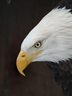 Bald headed eagle number 4