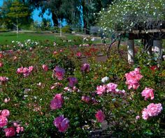 Rose Garden   #BalboaPark   #SanDiego