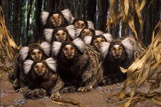 【野生動物 Wildlife】 コモンマーモセットの家族写真(フランス)