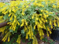 67 best plants i has images on pinterest succulents cacti and blooming right now palmers sedum sedum palmeri planting succulentssucculent plantsunusual plantsrootsperennialsyellow flowers cactusbloomgarden mightylinksfo