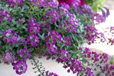 Sweet Alyssum mine is so beautiful right now. this is very easy to maintain with the heat in AZ