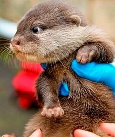 Otter pups born at the Perth Zoo! We're in love already.
