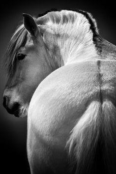 Icelandic Fjord Pony