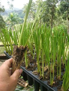 Vetiver Grass (Chrysopogon zizanioides) - 6 to 18 Plant Trial Packs #AgrifloraTropicals - Termite Repellant