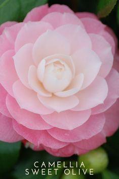 Camélia Sweet Olive – Camellia japonica à petites fleurs dou… – Garden Ideas Camellia Chanel, My Flower, Flower Power, Camellia Japonica, Olives, Bulb Flowers, Garden Care, Colorful Garden, Gardens