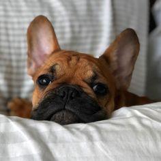 Bevo, French Bulldog Puppy