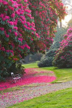 Tregothnan, Cornwall: White Bench Beneath Rhododendron 'russellianum' Wall Art & Canvas Prints by Clive Nichols