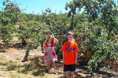 Picking Plums at You Pick, Anderson Orchard in Mooresville on a Homeschool Field Trip. #fieldtripideasindiana #thingstodoinJuly