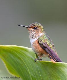 Scintillant Hummingbird-Female by Vivek Khanzodé