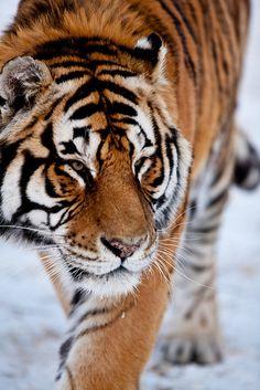 Beautiful Cats, Animals Beautiful, Big Cats, Cute Cats, Animals And Pets, Cute Animals, Wild Animals, Baby Animals, Tiger Walking