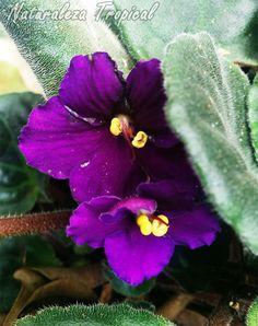 Flor característica de la violeta africana, género Saintpaulia