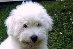 Think she'll notice? Coton de Tulear sweetie in Osnabrück, Germany.