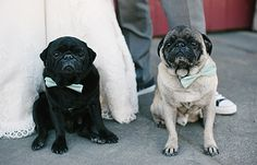 Our Pugs .... Bowties from DOG / Pictilio | Your love. In focus. | San Francisco wedding photography from Vitaliy and Candace Prokopets