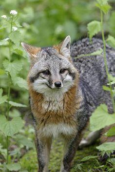 Gray Fox | Flickr - Photo Sharing!