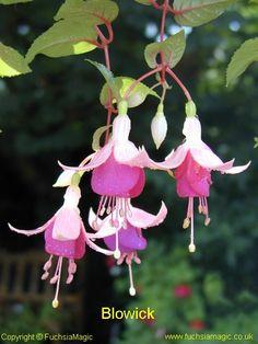 Fuchsia Blowick