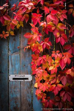 These beautiful autumnal leaves against the muted autumn colours of the old door are wonderful!