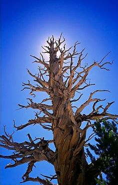 Among the oldest living things on Earth: Bristle Cone Pine.  They can live 1000s of years.