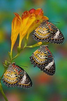 Resultado de imagem para tropische schmetterlinge leopardlacewing (cethosia postkarten