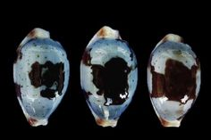 Cypraea (Bistolida) stolida stolida Sky Blue Linnaeus 1758 Panglao Isl. Bohol, 24 - 26 mm