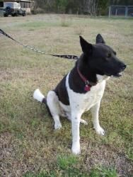 Loomis is an adoptable Akita Dog in Longs, SC. Loomis is slightly heartworm positive. He is a great pet, very friendly. Loves other dogs and very friendly with adults and children.