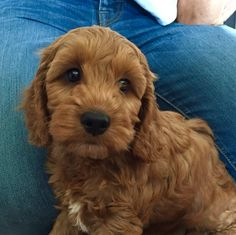Teddy the Cockapoo age 8 weeks. Colour - Apricot.