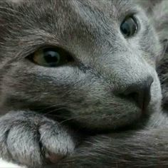 Russian blue. Igorcito from Colombia