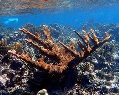 Elkhorn Coral - Belize 2015 Snorkel   by mastrfshrmn