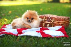 Tips para vacacionar con tu mascota Spitz Pomeranian, Cute Pomeranian, Pomeranians, Fluffy Animals, Cute Baby Animals, Animals And Pets, Cute Puppies, Cute Dogs, Dogs And Puppies