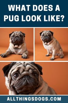 The Pug is rightly placed in the toy-dog group classification by all kennel clubs. From the Pug appearance, you will immediately notice their flat, wrinkly face, usually followed by hearing their snorts. Read on for more details.  #pug #pugappearance Miniature Dog Breeds, Group Of Dogs, Cute Dogs Breeds, Dog Toys, Pugs, French Bulldog, Flat, Comics, Animals