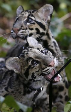 Haui-San (front) a Clouded Leopard cub, plays with his leash as his brother Niki-San looks off behind, during a garden walk at the San Diego Zoo Wednesday, Jan. 16, 2013, in San Diego. The cubs, both about five months old, are undergoing training before interacting with the public. (AP Photo/Gregory Bull)