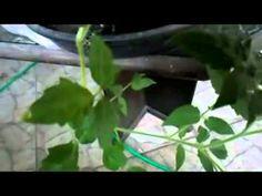 Como plantar chuchu,abacaxi tirando a semente ,meu adubo caseiro ,growin...
