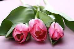 Lovely Pink Tulips Flowers Nature Background Wallpapers on Pink Tulips, Tulips Flowers, Bulb Flowers, Flowers Nature, Spring Flowers, Fresh Flowers, Romantic Flowers, Beautiful Flowers, Skagit Tulip Festival