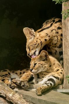 Serval cats. Momma and baby