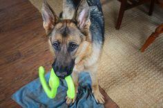 Playful Edie | Flickr - Photo Sharing! German Shepherds, German Shepherd Dogs, Schaefer, Handsome, Puppies, Rock, Animals, Cubs, Animales