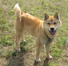 its a jindo almost looks like my dog except my dog has a stright tail not a curly one like in this pic :)