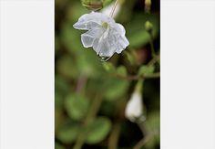 A gota-de-orvalho (Evolvulus pusillus) é uma herbácea rasteira com flores que se abrem ao amanhecer e pode ser utilizada como grama ou planta pendente