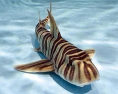 Zebra shark.