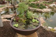 patio pond_cyperus or dwarf papyrus_water lettuce_chameleon plant