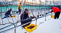 Eiswein ( Ice Wine) - Canadian Specialty: Extreme Wine Making from Frozen Grapes