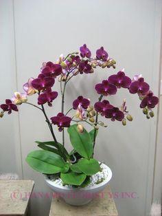 ~~ Three orchids ~~: Phalaenopsis Orchids, Orchid Flowers, Beautiful Flowers, Three Orchids, Flowers Orchids, Beautiful Orchids, Garden, Favorite Flower