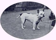 Vintage French Bulldog, 1930-40's
