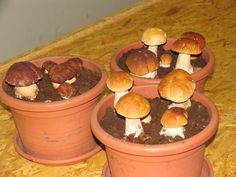 Cute growing porcinis :) www.home-mushrooms.eu
