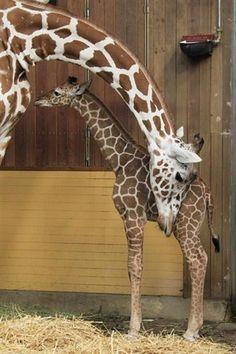 Filhote de girafa, chamado Magoma, fica perto de sua mãe, Koobi, em toca do zoológico de Cologne, Alemanha