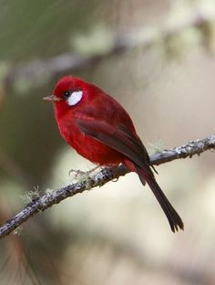 awesome Red Warbler is endemic to the highlands of Mexico, north of the Isthmus of Tehua...