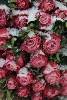 dark pink roses in the snow