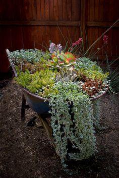 Seasonal Wheelbarrow with succulents.